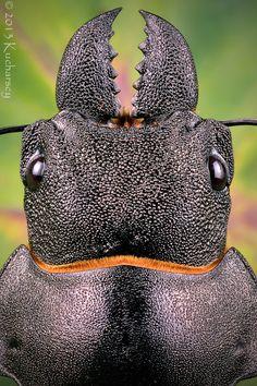 Jaws--Large stag beetle by Dark-Raptor.deviantart.com on @deviantART