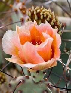 Prickly Pear Cactus Blossom by AnEyeForTexas
