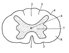 Structura măduvei spinării în secţiune transversală Human Anatomy, Anatomy, Human Body Anatomy, Body Anatomy