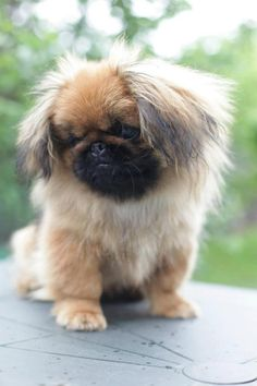I just love Pekingese puppies