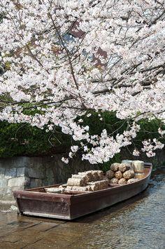 Cherry blossoms, Takase River, Kyoto, Japan