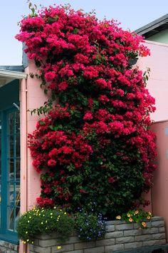 ♥ Bougainvillea 'Barbara Karst'. CARMEL'S COTTAGE GARDENS. California.