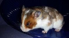 Satin Golden Dominant Spot Syrian Hamster