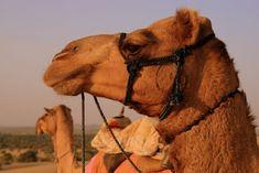 Camels in the Thar Desert (India) | Dromadaires dans le désert du Thar (Inde) | Camellos en el desierto de Thar (India)