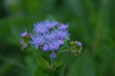 winter ageratum- comes back year after year, unlike its annual namesake
