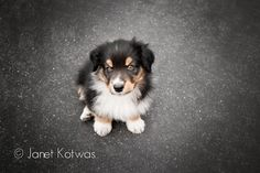"""We added a new member to our family this week... please say hi to Colton """"Colt"""" Revolver!  Hes a pure bred Australian Shepherd and just celebrated is 8 week birthday!  I'm totally in love already! © Janet Kotwas Photography www.kotwasphoto.com"""