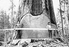 Before chainsaws were invented, the logging industry in the United States & Canada was a seriously challenging occupation and we are only talking about 125 years ago.