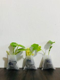 Buy Flowers Online, Buy Plants Online, Growing Herbs, Growing Vegetables, Black Bean Plant, Chickpea Plant, Okra Plant, Herbs Indoors, Black Eyed