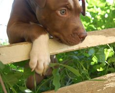 9 week old Pit bull terrier puppy