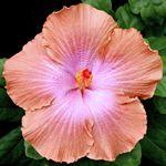 Exotic Hibiscus 'Lavender Brown'