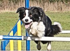 Dog agility http://IndagoDogPhotography.co.uk  Border collies are the most popular dogs in dog agility