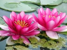 The pink lotus is the supreme lotus, it is often associated with the highest deity, the Buddha himself. Though often confused with the white lotus, it is the pink lotus that symbolizes Buddha where the white lotus is used for lesser holy figures.