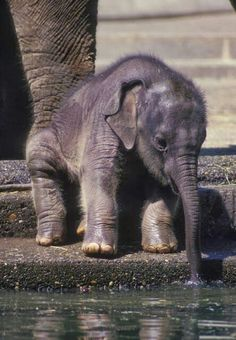 Furry baby elephant