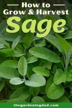 Learn the basics of How to Grow & Harvest Sage. This Beginner's Guide to Sage will give you easy tips for planting and growing a great herb garden!  #gardenideas #herbgarden #herbs Fairy Garden Plants, Herb Plants, Plants Indoor, Healing Herbs, Medicinal Herbs, Sage Plant, Plant Leaves, Gardening For Beginners, Gardening Tips
