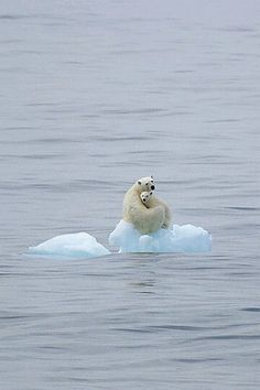 """thestylishgypsy: """" As the polar ice caps retreat, so will these beautiful animals drift away and die. Thanks to global warming. """""""
