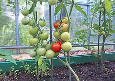 Postupně dozrávající plody rajčat Fruit, Vegetables, Gardens, Sodas, Greenhouses, Vegetable Gardening, Cleanser, Vegetable Recipes, Veggie Food
