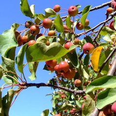 On tending apple trees