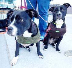 Hanna & Elise - Dickson Petco Adopt-a-thon February 2016 Last Chance Pet Rescue (lastchancepetrescue-dickson@yahoo.com)