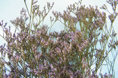 Dried sea lavender (limonium), lavender colour http://www.daisyshop.co.uk £5.99