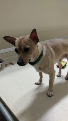 """ADOPTED! Tyler Regional Animal Care Shelter - Tracs Page Liked · December 5 ·   East Hartford found this one to two year old tan male chihuahua on Columbus Street in East Hartford on Sunday, December 4 2016. They are calling him """"Eddie"""". Please call East Hartford 860-291-7572 if you know who the owner is or if you are interested."""