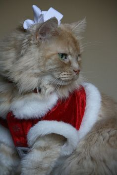 SANTA BABY  For more Christmas Cats, visit https://www.facebook.com/funholidaycats