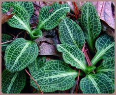 Regardless of season, Downy Rattlesnake Plantain is a delight to encounter in the woods of Virginia This evergreen orchid is a perennial rhizomatous herb ...