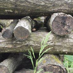 ちいさな椎茸。まだありました。  椎茸の原木です。