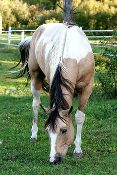 I have a horse named Abbye she is a P.A pony of america and she is a buttermilk buckskin beautiful horses Cute Horses, Horse Love, Most Beautiful Animals, Beautiful Horses, Cheval Pie, Horse Names, Majestic Horse, All The Pretty Horses, Horse Pictures