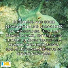 Time for a cephaloparty! Octopuses are masters of disguise. #funfact