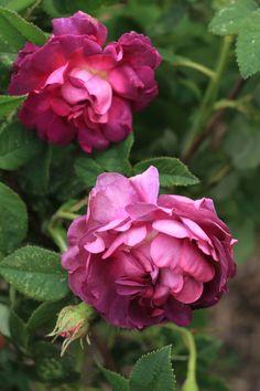 Belle de Crecy est une des meilleures galliques, au subtil camaïeu de coloris changeant au gré du temps, passant du rose gris au rose violacé, évoluant selon l'ensoleillement et l'épanouissement. La fleur, bien double, aux pétales serrés, parfumés, comme toutes les plus belles, ne s'épanouit que pendant un mois. Très bonne résistance aux maladies. Gallique. Roeser, 1828.