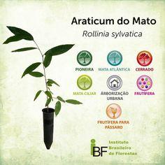 Araticum do Mato - Rollinia sylvatica - Muda de 30 a 60 centímetros