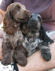 Dogspuppiesforsalecom liked | English Cocker Spaniel Getting a dog or a puppy as a new addition to your family is an excellent decision! You're adding another member that can provide lots of love and enjoyment! This is a relationship you'd want to make sure that you're doing right the first time around. You'll need to find out what makes your dog happy what are the things to look out for and basically how to give them a long and fulfilling life. This is what dogs puppies for sale is for.