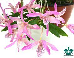 Dendrobium 'Nikkou'
