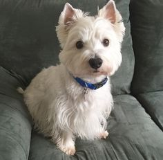Image result for pics of westies