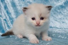 2014: Lightning A Zwollywood Cat. 4 Weeks old Ragdoll kitten, seal bicolour. Cars litter.