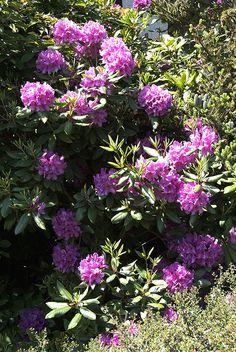 Garten-Azalee oder Rhododendron.