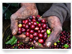 Coffee Arabica was first discovered growing wild at elevations above 3,000 ft. in Ethiopia.