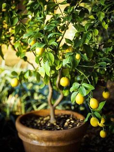 How to Grow Lemon Tree in Pot-Complete Growing Guide #homegrapegrowingguide
