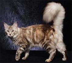 Maine coon cat, looks like my Sophie! :)