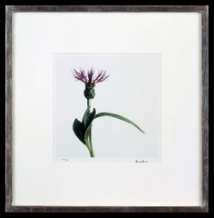Lord Snowdon | Mountain Knapweed | Limited Edition Photograph, part of a set of 8 | 10 x 8 inches | £1,450 (for the set, unframed)  These photographs come as a portfolio; there are eight photographs in the set. Each image has been signed by Lord Snowdon. Princess Margaret, Unique Flowers, Wild Flowers, Small Spaces, Photographs, Lord, Mountain, Artist, Prints