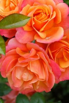 •♥•✿ڿڰۣ(̆̃̃•Aussiegirl. Oranges and Pinks Roses