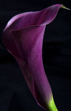 Super wedding flowers spring purple calla lilies Ideas – Famous Last Words Purple Calla Lilies, Purple Lily, Purple Orchids, Shades Of Purple, Purple Flowers, Deep Purple, Hydrangea Bouquet Wedding, Spring Wedding Flowers, Bridal Flowers