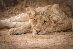 Lazy lion cub in Murchison Falls National Park, Uganda - Brina Bunt