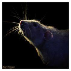 """Aegir 13 - Fancy rat"" by DianePhotos.deviantart.com"