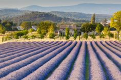 The lavender fields of Provence | 21 Magical Photos That Will Make You Fall In Love With France
