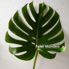 Monstera deliciosa  Urban jungle  Peter Manders bloemist in Lemmer