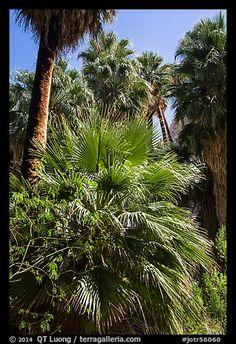 Lush vegetation in 49 Palms Oasis. Joshua Tree National Park, California
