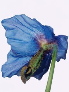 Himalayan Blue Poppy Photographic Print at Art.com