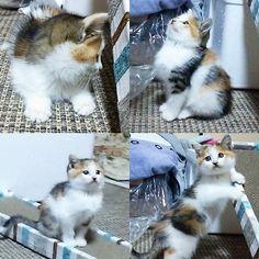 * 多分… ってゆぅか絶対!この子足と首短いと思うねん…笑 子猫ってこんなもんやっけ? 猫を飼うのが8年ぶりとかやから忘れてるだけ? 模様もこんな多かったかな? あんまちゃんと見てない😂  今日も4時半頃めっちゃ指噛まれたし😹 携帯見てたら瞬きにじゃれてきて目引っ掛かれるし… 土曜日からは1人で寝てもらう!  #猫#子猫#ネコ#愛猫#可愛い#ふわふわ#保護猫#新しい家族#cat#kawaii#Kitten