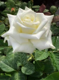 Winchester Cathedral Rose, White Roses, White Flowers, Afternoon Delight, Happy Birthday Pictures, Beautiful Rose Flowers, Single Rose, Cute Cosplay, Good Morning Images